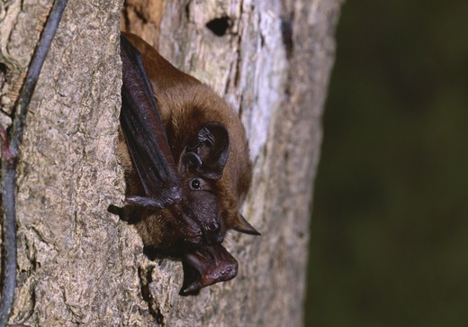 Stock Photo: 4141-7639 noctule bat october nyctalus noctula canton of zurich switzerland