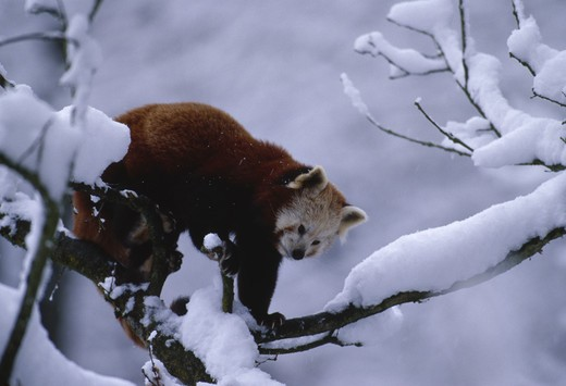 Stock Photo: 4141-7658 lesser panda or red panda ailurus fulgens on snow-laden branch in zoo switzerland november