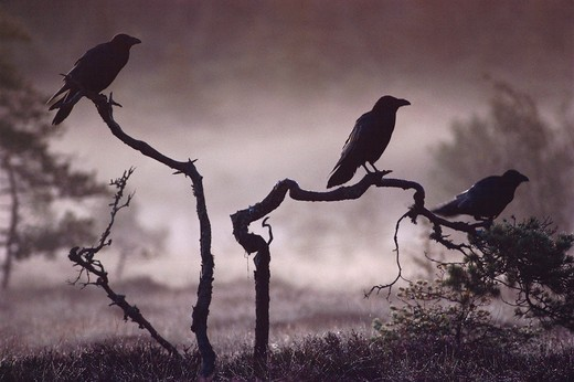 ravens three silhouetted, corvus corax on branches in mist  : Stock Photo