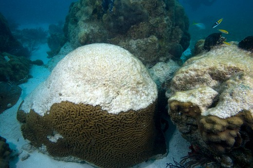 Stock Photo: 4141-8031 coral bleaching brain coral (left) and star coral (right) florida keys national marine sanctuary key largo florida usa