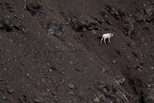 Stock Photo: 4141-8088 dall's sheep ovis dalli ram on scree slope denali national park, alaska