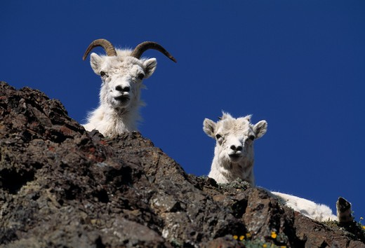Stock Photo: 4141-8090 dall's sheep ovis dalli 2 young on cliff denali national park, alaska