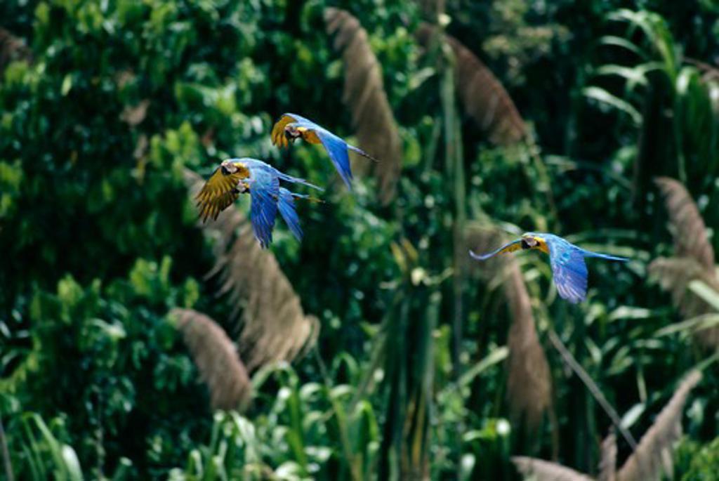 Stock Photo: 4141-8124 blue & yellow macaws in flight ara ararauna tambopata nature reserve, peru