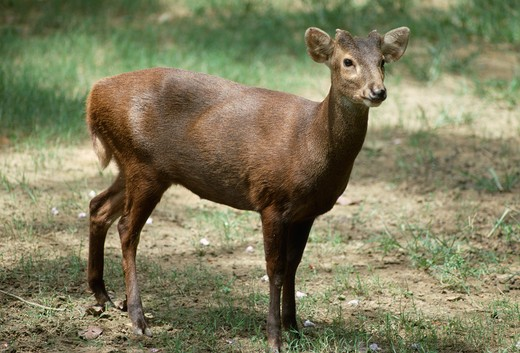 kuhl's deer or bawean deer axis kuhlii found on bawean island, indonesia singapore zoo rare species  : Stock Photo