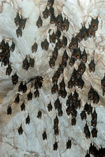 large roundleaf horseshoe bat hipposideros larvatus group roosting  : Stock Photo