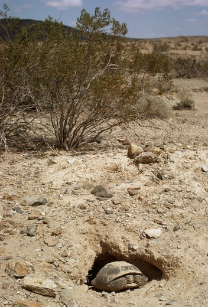 Stock Photo: 4141-8509 california desert tortoise gopherus agassizii near to barstow, western mojave desert, california, western usa