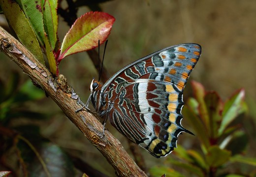two-tailed pasha butterfly charaxes jasius at rest, wings closed  : Stock Photo