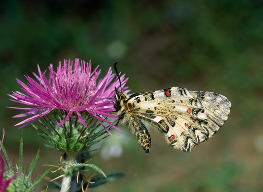 Stock Photo: 4141-9028 eastern festoon butterfly zerynthia cerisyi varcretica on thistle flower, wings closed april near agia galini, island of crete