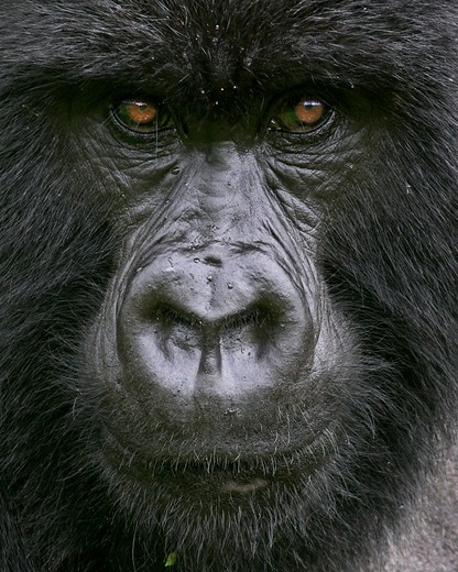 Stock Photo: 4141-904 mountain gorilla gorilla beringei beringei blackback male virunga mountains, rwanda