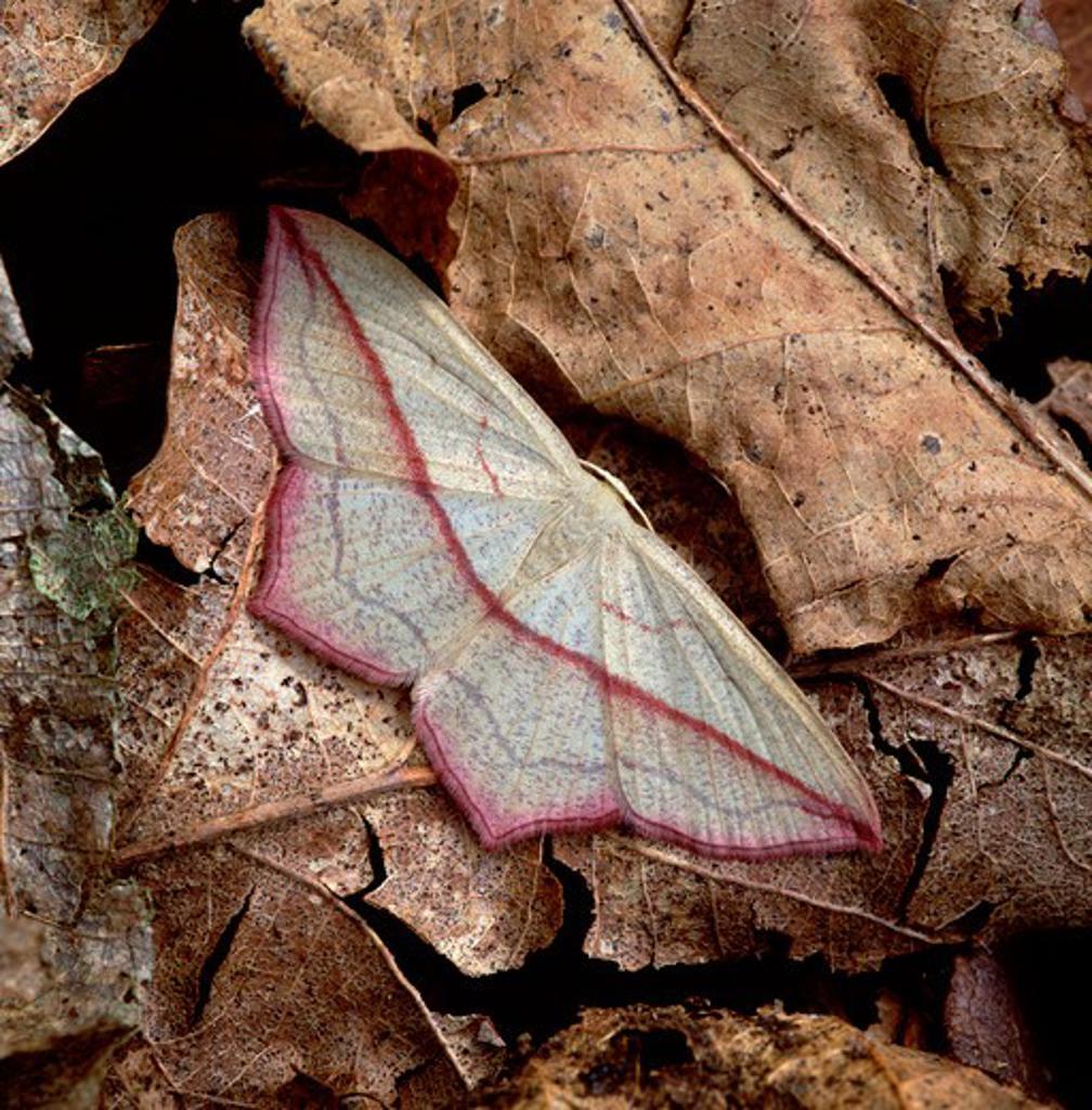 blood-vein moth timandra griseata long eaton, nottingham : Stock Photo