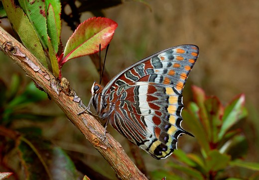 Stock Photo: 4141-9629 two-tail butterfly pasha charaxas