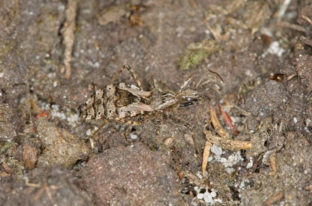 heath assassin bug, coranus subapterus, short-winged form, norfolk uk : Stock Photo