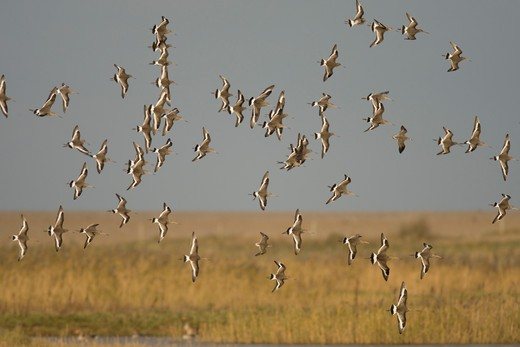 Stock Photo: 4141-9760 black-tailed godwit, l. limosa, flock in flight, winter, cley, norfolk uk