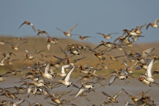 Stock Photo: 4141-9761 black-tailed godwit, l.limosa, in flight with teal, anas crecca and wigeon, anas penelope, norfolk wildlife trust, cley, uk
