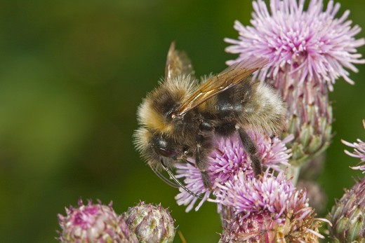 Stock Photo: 4141-9773 garden bumblebee, bombus hortorum, male, on creeping thistle, cirsium arvense, norfolk uk
