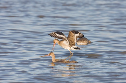 Stock Photo: 4141-9848 black-tailed godwit, l. limosa, two fighting, winter, norfolk uk