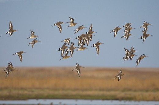 Stock Photo: 4141-9849 black-tailed godwit, l. limosa, small flock in flight, winter, norfolk uk