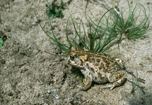 Stock Photo: 4141-9864 natterjack toad bufo calamita norfolk, east anglia, uk
