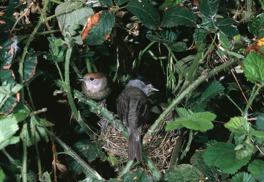 blackcap pair at nest sylvia atricapilla  : Stock Photo