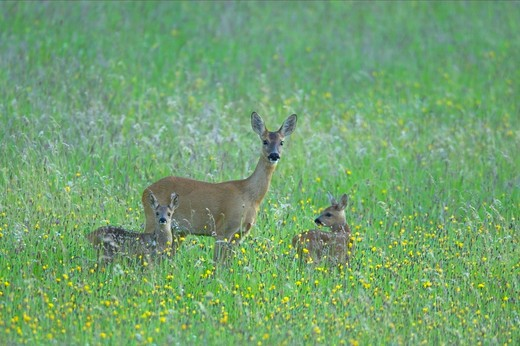 roe deer capreolus capreolus mother with young uk : Stock Photo
