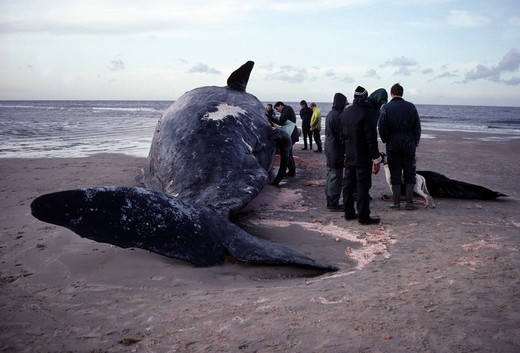 Stock Photo: 4141-9971 sperm whale autopsy & onlookers physeter macrocephalus norfolk, england winter 91/92