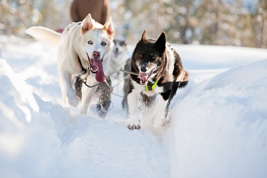 Stock Photo: 4148R-443 A group of sled dogs running fast