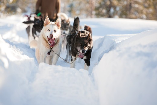 A group of sled dogs running fast : Stock Photo