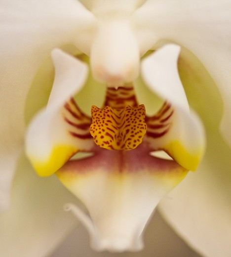 Detail of an Orchid flower : Stock Photo