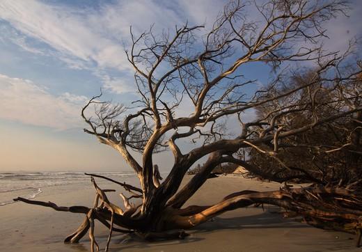 Stock Photo: 4151-233 USA, Florida, Little Talbot Island, Dead tree on beach