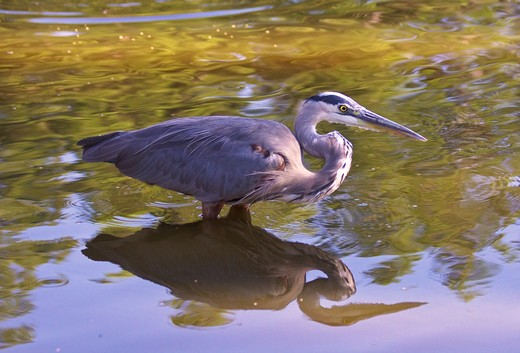 Reflection of a Blue heron (Ardea herodias) on water, Florida, USA : Stock Photo
