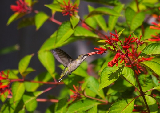 Hummingbird feeding on nectar from flower, Florida, USA : Stock Photo
