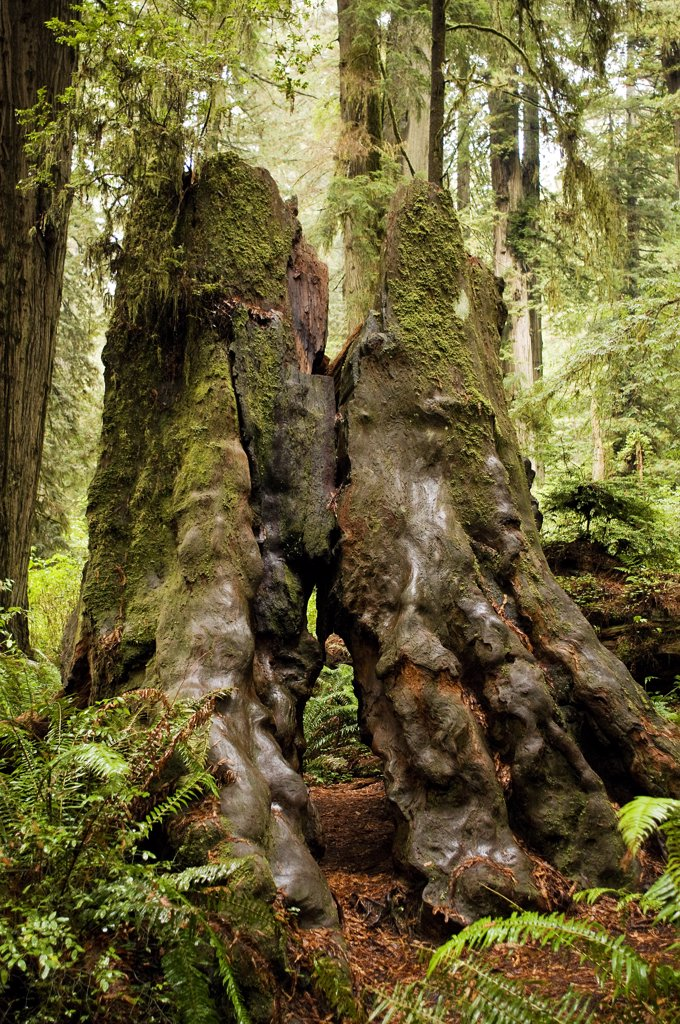 Stock Photo: 4152-306 USA, Oregon, Redwood Forest