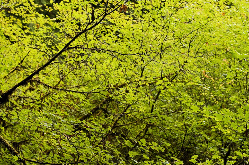 USA, Oregon, Redwood Forest : Stock Photo