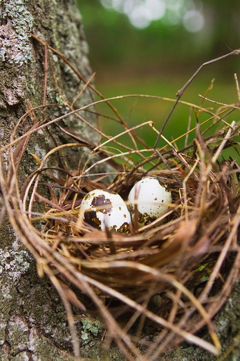 Quail eggs in nest : Stock Photo
