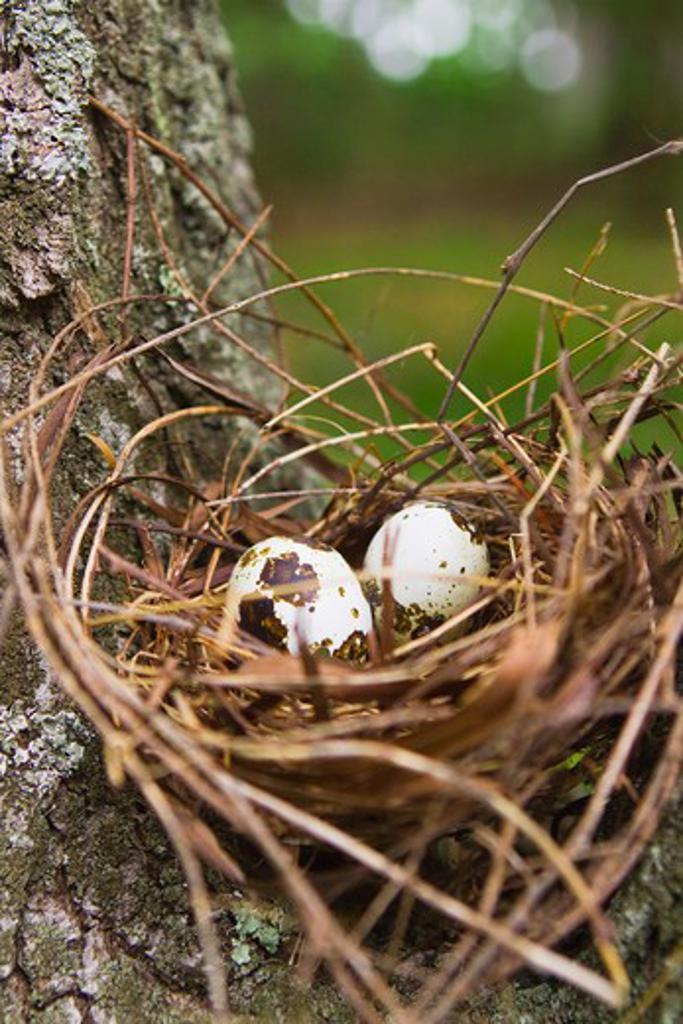 Stock Photo: 4153-234 Quail eggs in nest