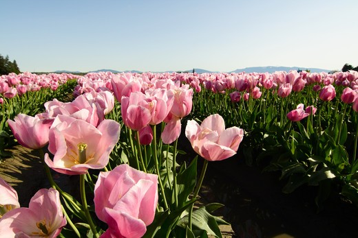 A field of blooming pink tulips (low angle shot) : Stock Photo