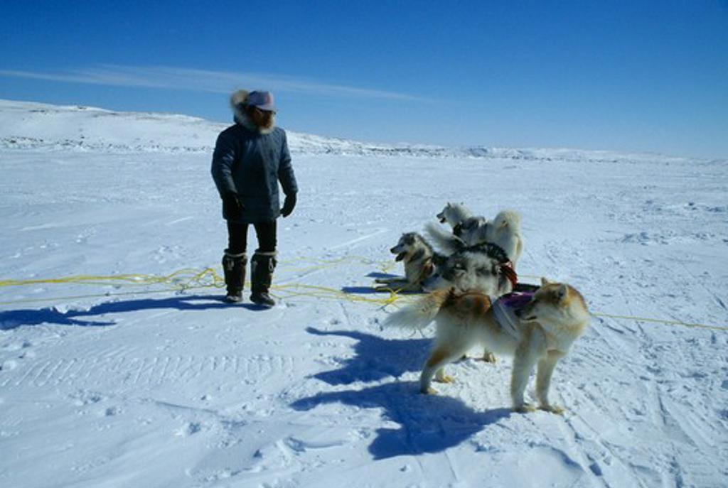 CANADA, NUNAVUT, BAFFIN ISLAND, IQALUIT, DOG TEAM RACES, PREPARATION BEFORE RACE : Stock Photo