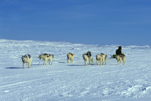 Stock Photo: 4163-1436 CANADA, NUNAVUT, BAFFIN ISLAND, IQALUIT, DOG TEAM RACES, TEAM APPROACHING FINISH LINE