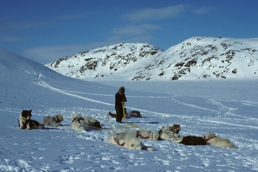 CANADA, NUNAVUT, BAFFIN ISLAND, NEAR IQALUIT, UNTANGLING LINES OF DOG TEAM : Stock Photo