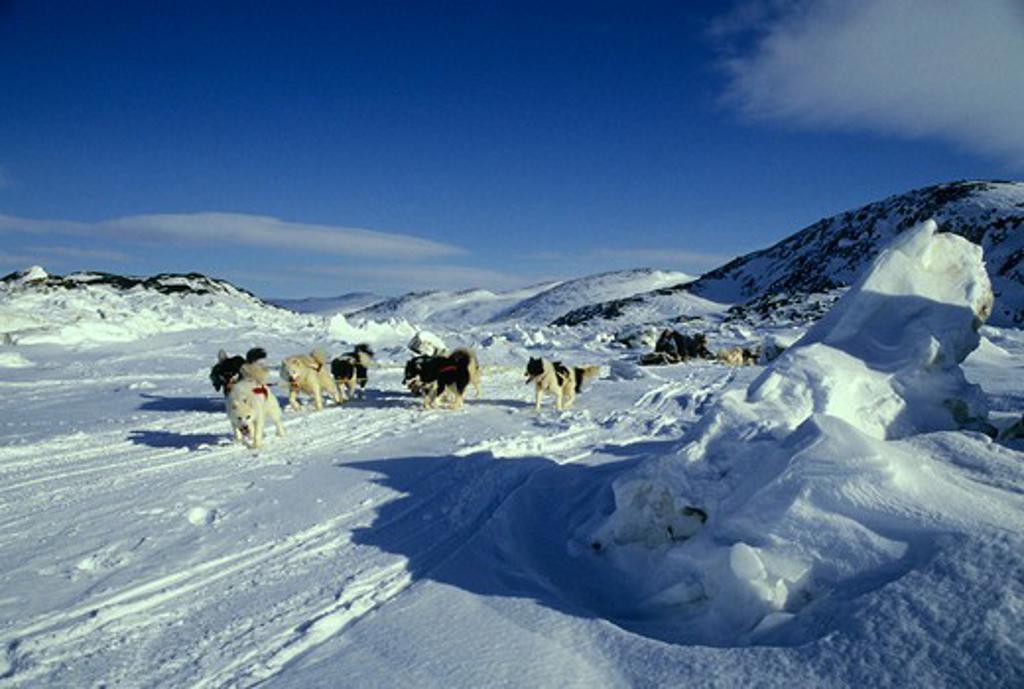CANADA, NUNAVUT, BAFFIN ISLAND, NEAR IQALUIT, HUSKY DOG TEAM PULLING KOMOTIK (SLED) : Stock Photo