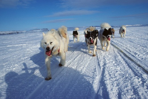 CANADA, NUNAVUT, BAFFIN ISLAND, NEAR IQALUIT, HUSKY DOG TEAM PULLING KOMOTIK (SLED) : Stock Photo