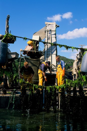 Stock Photo: 4163-15481 IRELAND, BANTRY BAY, GLENGARRIF, MUSSEL FARM, MUSSELS BEING HARVESTED