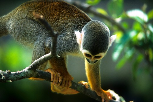 AMAZON RIVER, SQUIRREL MONKEY IN FOREST CANOPY, CLOSE-UP : Stock Photo