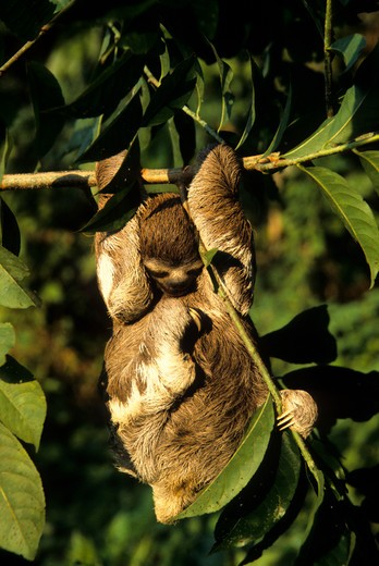 AMAZON, BRAZIL, SLOTH HANGING ON BRANCH OF TREE IN TROPICAL RAIN FOREST : Stock Photo