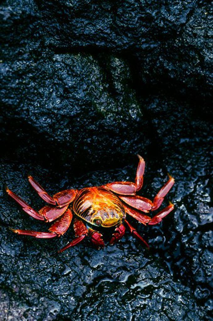 Stock Photo: 4163-17282 ECUADOR, GALAPAGOS ISLANDS SEYMORE ISLAND, SALLY LIGHT-FOOT CRAB (Grapsus grapsus)