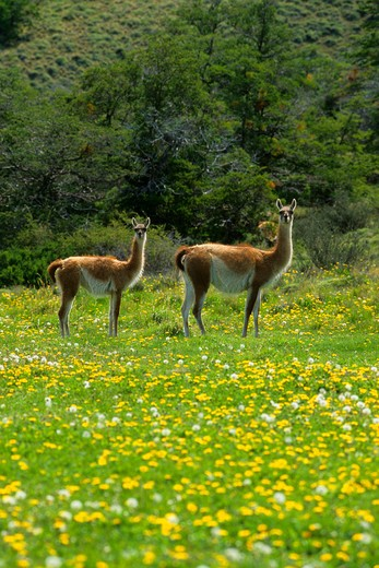 CHILE, TORRES DEL PAINE NAT'L PARK, GUANACOS, MOTHER WITH YEARLING IN MEADOW OF DANDELIONS : Stock Photo