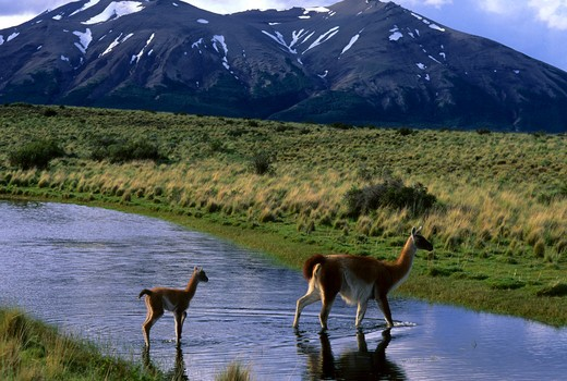 CHILE, TORRES DEL PAINE NAT'L PARK, GUANACOS, MOTHER WITH BABY (CHULENGO) WALKING THROUGH LAGOON : Stock Photo