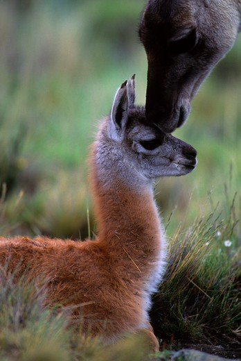 CHILE, TORRES DEL PAINE NAT'L PARK, GUANACOS, BABY (CHULENGO), WITH MOTHER GETTING SCENT : Stock Photo
