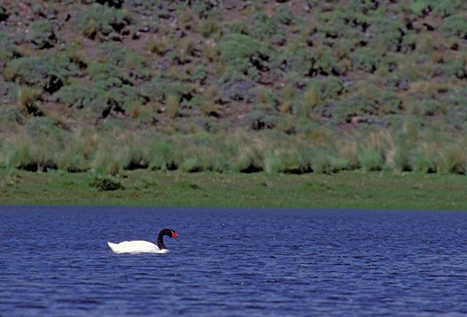 CHILE, TORRES DEL PAINE NAT'L PARK, BLACK-NECKED SWAN, Cygnus melancorypus : Stock Photo
