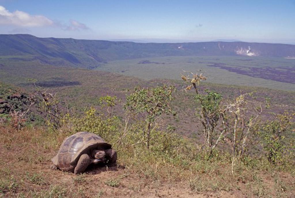 Stock Photo: 4163-17688 ECUADOR,GALAPAGOS ISLANDS, ISABELA ISLAND, ALCEDO VOLCANO, GALAPAGOS TORTOISE ON RIM OF CRATER